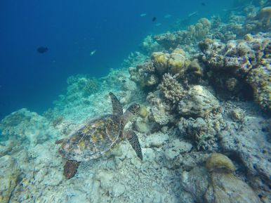 Swimming With Wild Turtles And Those Amazing Island Colours... At Kandolhu Island, Maldives (30)